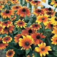 Rudbeckia - Pack of 50 Seeds