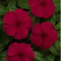 Vinca rosea Nana Burgundy Dwarf Seeds - Pack of 100 Seeds