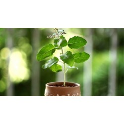 Tulsi - A Herb For All Reasons