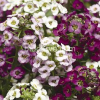 Biocarve PanAm Alyssum Easter Bonnet - 50 Seeds