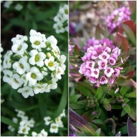 Biocarve Ground Cover Winter Flowers-2 Packets
