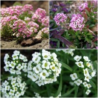 Biocarve Ground Cover Winter Flowers-3 Packets