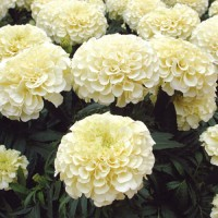 Biocarve Marigold African F2 White - Pack of 50 Seeds