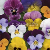BiocarvePanAm Hybrid Pansy F1 Mixed -20 Seeds