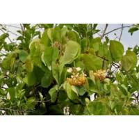 Bauhinia Vahlii , Maloo Creeper - 15 Seeds