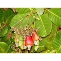 Anacardium Occidentale, Cashew Nut Fruit - 20 Seeds