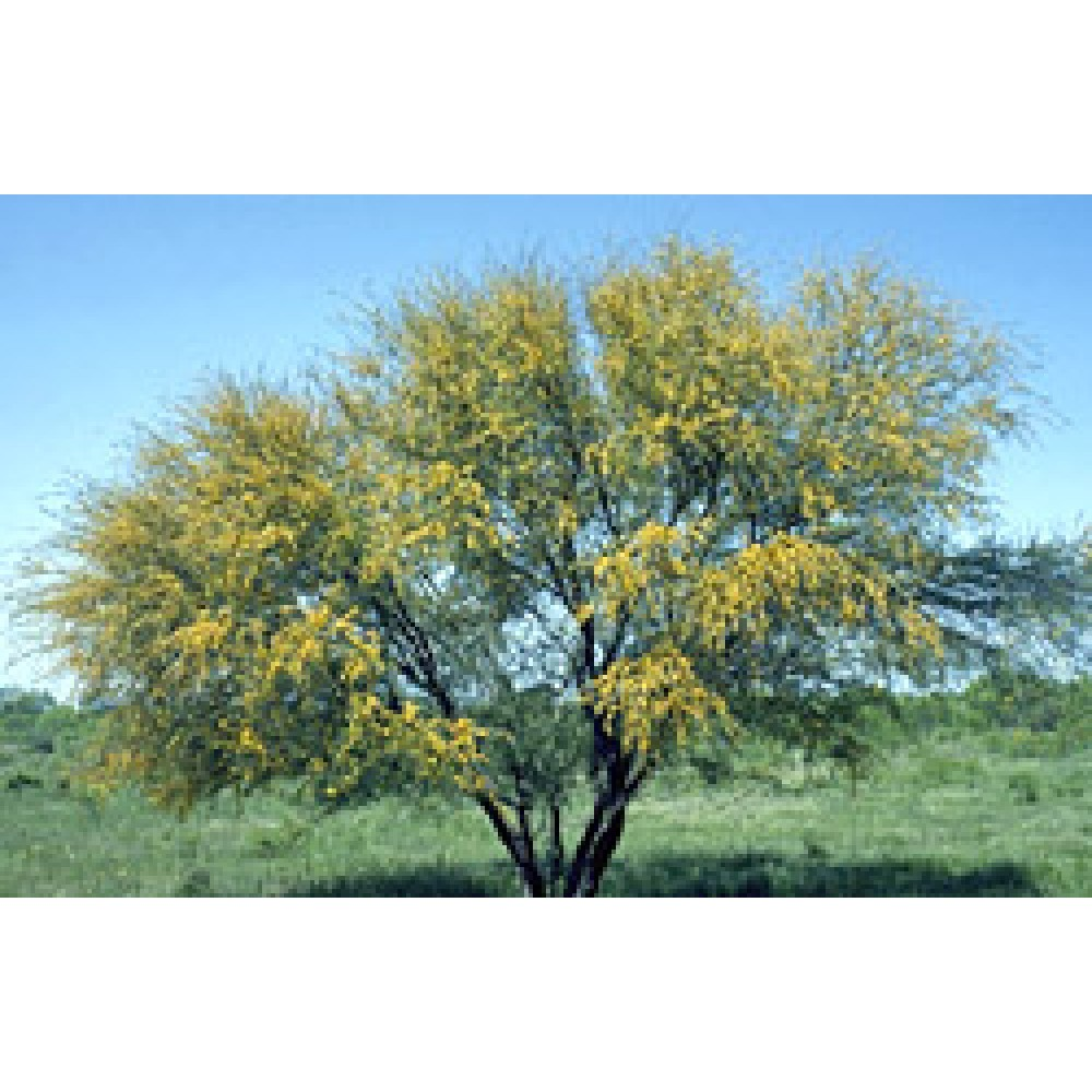 Buy Acacia Catechu Khair Seeds Shophealthy In