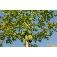 Carica Papaya , Melon Tree, Papaya - 100 Seeds