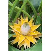 Musella Lasiocarpa , Golden Lotus Banana - 15 Seeds