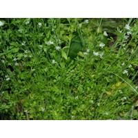 Lepidium Sativum , Herb Of Cress - 200 Seeds