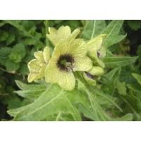 Hyoscyamus Niger, Henbane - 100 Seeds