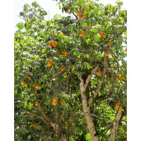 Jacaratia Spinosa - 25 Seeds