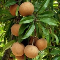 Manilkara Zapota , Chico Sapote - 15 Seeds