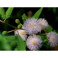 Mimosa Pudica , Touch Me Not , Sensitive Plant - 200 Seeds