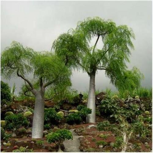 Moringa Hildebrandtii - 5 Seeds